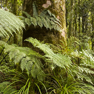 Jonathan Barran NZ Native Trees Photography, NZ Native Trees Photographer in Rotorua NZ